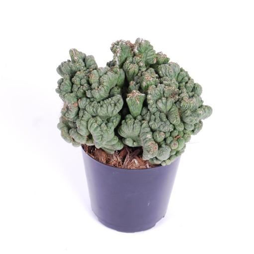 Euphorbia 'Grizzly' (Van der Arend Tropical Plantcenter)