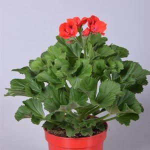 Pelargonium ELEGANCE ROSANNA (Adrichem Potplanten)