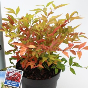 Nandina domestica 'Fire Power' (About Plants Zundert BV)