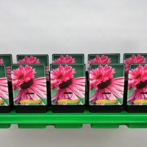 Echinacea purpurea 'Double-Decker'