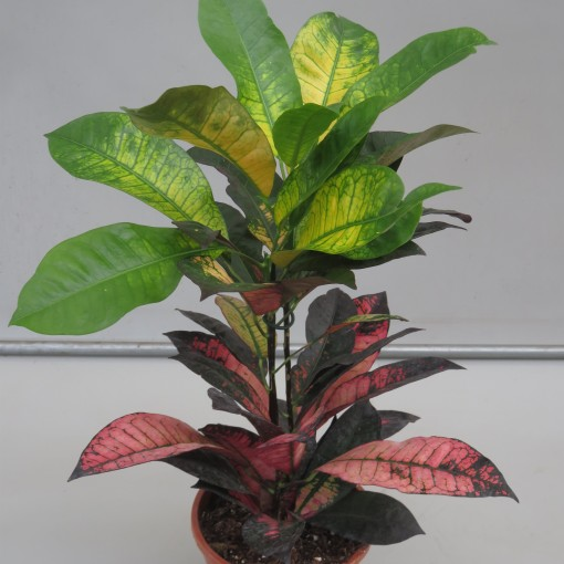 Codiaeum variegatum 'Mrs Iceton' (Snoeker)