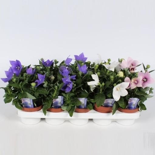 Platycodon grandiflorus MIX (Endhoven Flowering Plants)
