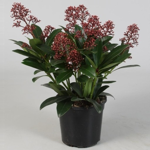 Skimmia japonica 'Rubella' (FBB Plant)