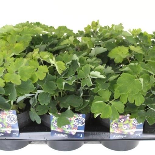 Aquilegia vulgaris WINKY MIX (Noordpoel, Kwekerij de)