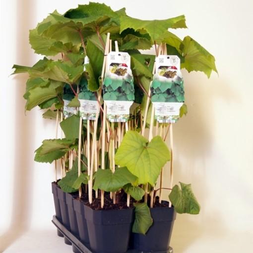 Vitis coignetiae (BOGREEN Outdoor Plants)