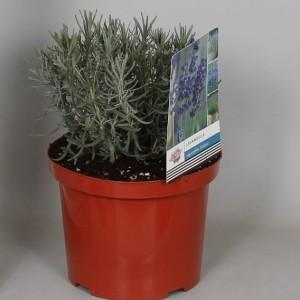 Lavandula angustifolia 'Hidcote' (De Jong Plant BV)