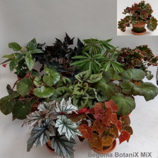 Begonia MIX (Hofstede Hovaria)