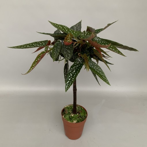 Begonia 'Tamaya' (Hkw. van der Velden)