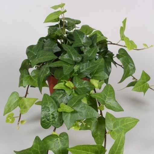 Hedera helix 'Mein Herz' (Vireõ Plant Sales)