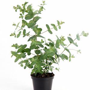 Eucalyptus gunnii (Gasa DK)