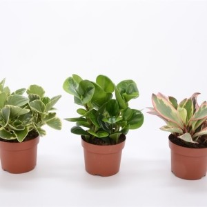 Peperomia MIX (Bunnik Plants)