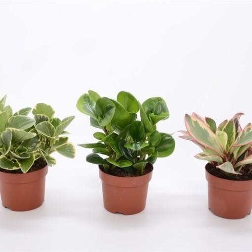 Peperomia MIX (Bunnik Plants)