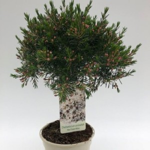 Chamelaucium uncinatum (Green Collect Sales)