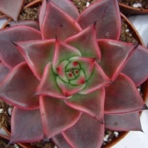 Echeveria 'Taurus' (van der Hoorn Succulenten)