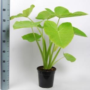 Xanthosoma sagittifolium 'Lime Zinger' (Van der Arend Tropical Plantcenter)