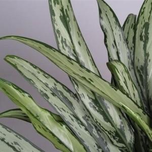 Aglaonema 'Cutlass' (JoGrow B.V.)