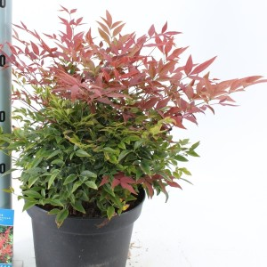 Nandina domestica OBSESSED / OBSESSION (About Plants Zundert BV)