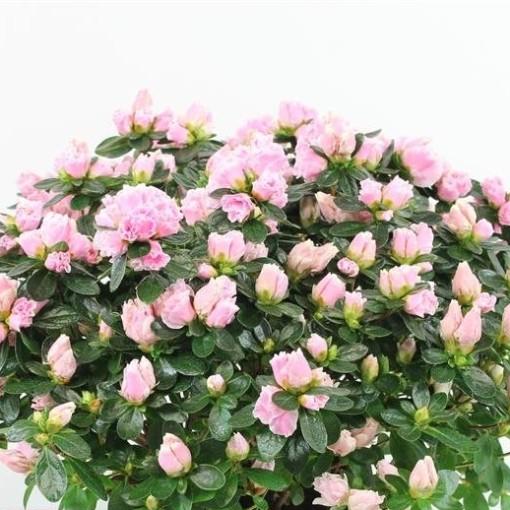 Rhododendron HORTINNO CLASSIC BICOLOR (FlorAmor)