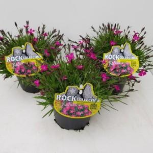 Dianthus superbus KAHORI PINK (Experts in Green)