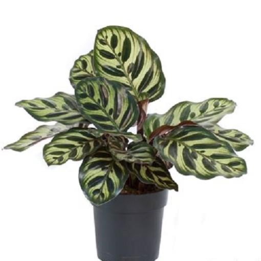 Calathea makoyana (Gasa DK)