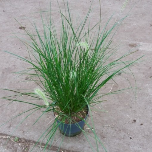 Pennisetum alopecuroides 'Hameln' (Experts in Green)