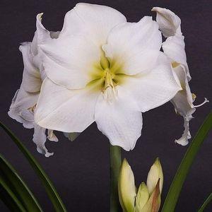 Hippeastrum 'Denver' (JHL Plants)
