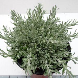 Helichrysum italicum MIX (Experts in Green)