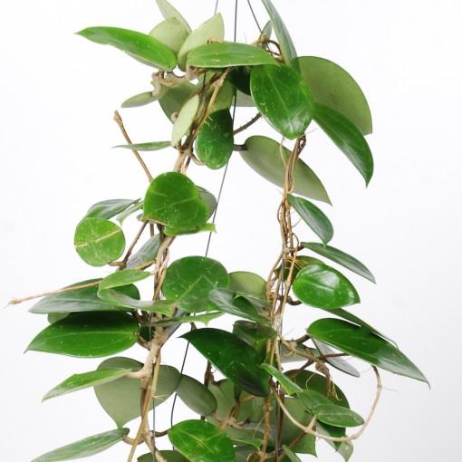 Hoya carnosa (Van der Arend Tropical Plantcenter)