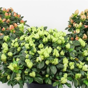 Rhododendron HORTINNO LIME MIX