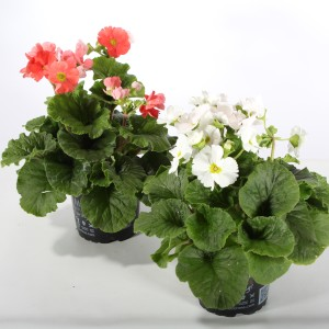 Primula obconica MIX (Experts in Green)