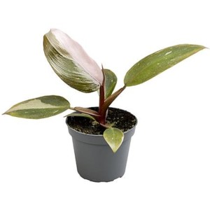 Philodendron 'Pink Princess'