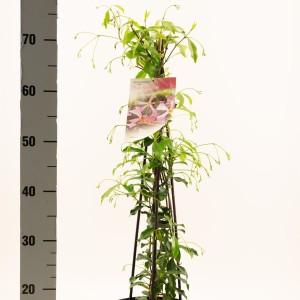 Trachelospermum jasminoides 'Pink Showers' (Dool Botanic)