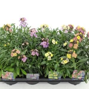 Erysimum linifolium MIX (Kwekerij de Noordpoel)