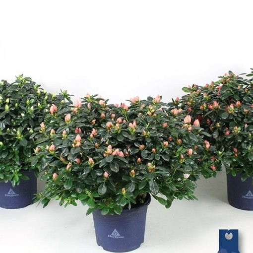 Rhododendron HORTINNO MIX (FlorAmor)