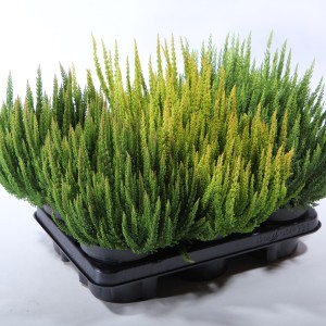 Calluna vulgaris SKYLINE MIX