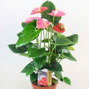 Anthurium AMIS (Kwekerij van Wijk - FlorXL)