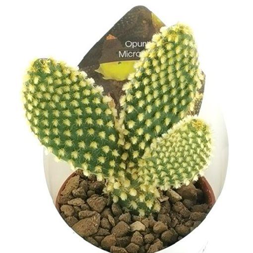 Opuntia microdasys (Giromagi)