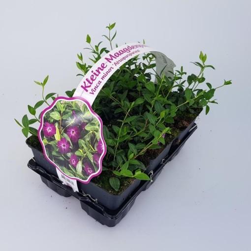 Vinca minor 'Atropurpurea' (Sneijers Boomkwekerij)