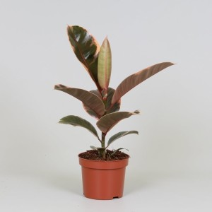 Ficus elastica 'Belize' (Kwekerij J. de Groot BV)