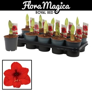 Hippeastrum 'Royal Red'