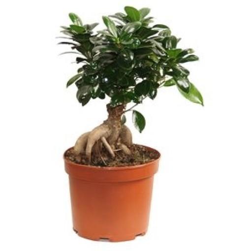 Ficus microcarpa 'Ginseng' (Gasa DK)