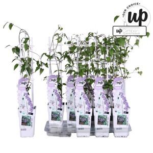 Clematis ENDELLION (Hoogeveen Plants)