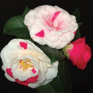 Camellia japonica 'Angela Cocchi' (Flora Toscana)