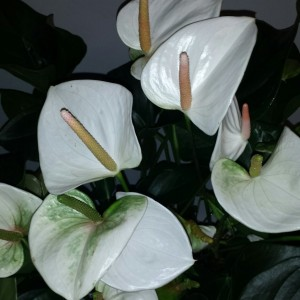 Anthurium SUMI (Flamingo Plant)