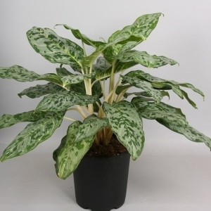 Aglaonema 'Peacock'
