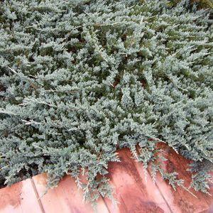 Juniperus horizontalis 'Blue Chip' (Bremmer Boomkwekerijen)