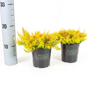 Calluna vulgaris BEAUTY LADIES SEASTAR