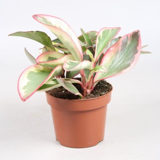 Peperomia clusiifolia 'Ginny' (Vireõ Plant Sales)