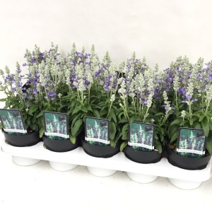 Salvia farinacea FARINA MIX IN POT (De Liesvelden Kwekerij)