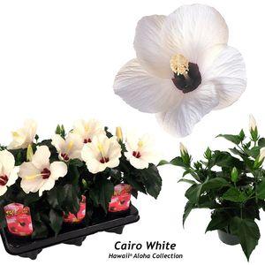 Hibiscus rosa-sinensis 'Cairo White'